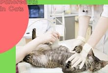 Photo of Pancreatitis in Cats
