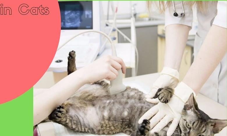 Photo of Pancreatitis in Cats