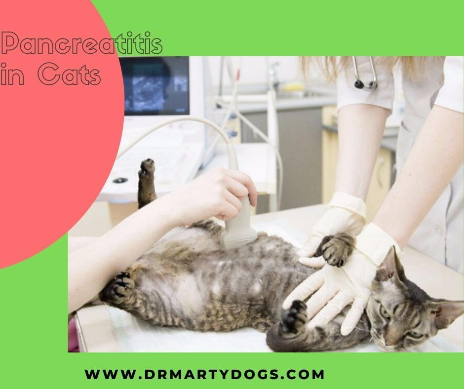 ultrasound Diagnosic feline pancreatitis