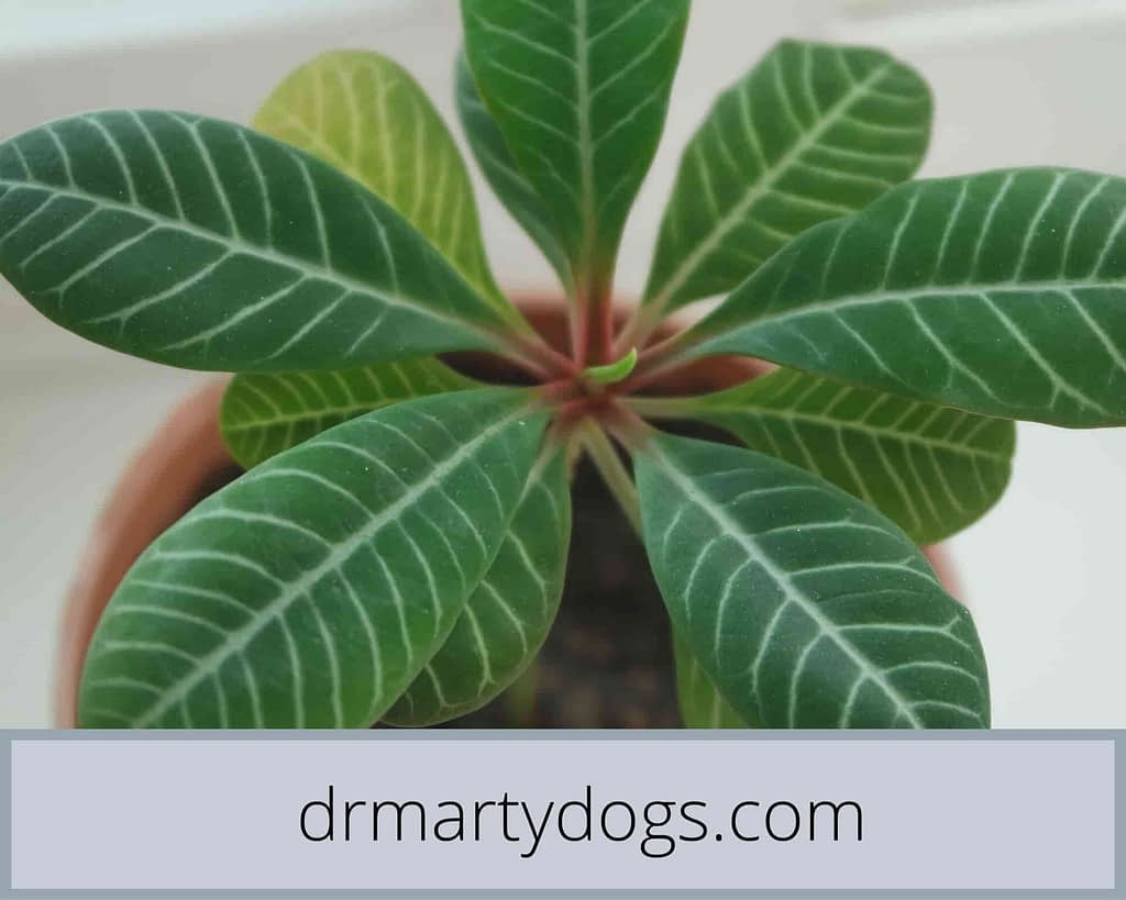 why cats eat houseplants Cats love to eat indoor plants, ficus, dracena